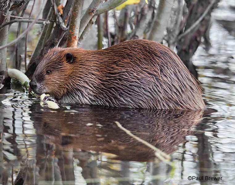 beaver-paulbrewer-.jpg